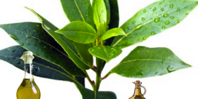Olive leaf extract recipe for diabetes